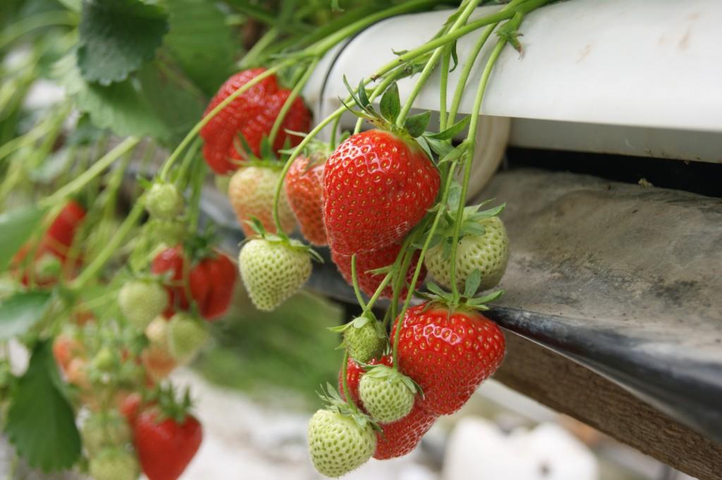hängande jordgubbar ringstad
