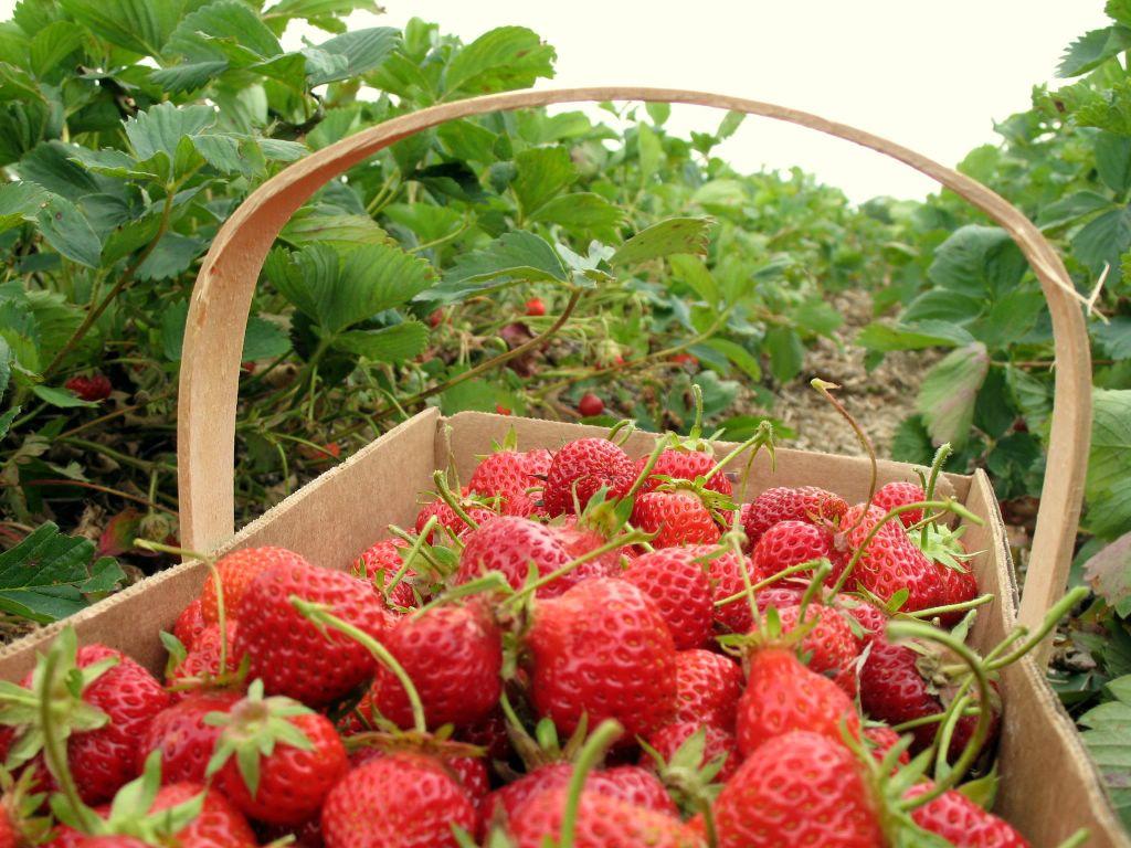 jordgubbskorg